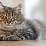 Le comportement du chat – Auxiliaire vétérinaire / A.S.V en e-learning
