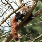 Parrainage Panda Roux